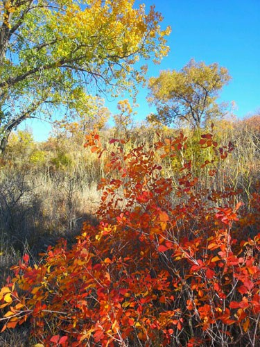 Fall colors along the Mullinaw Trail of orange, yellow, green.  It is a sunny day with blue skies.  The cottonwood trees are turning from green to yellow and bushes are red.