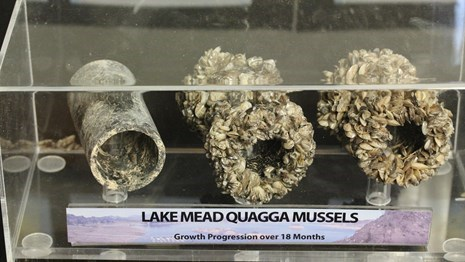 Quagga mussels on pipes