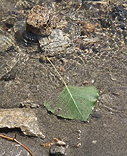 Aspen leaf on the river edge at Spring Canyon.