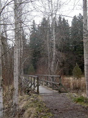 Wooden pedestrian trail bridge with leafless, white birch on either side.