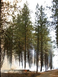 Smoke from a prescribed burn rolls along pine forest floor. Flames flicker at downed tree.