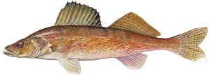 Walleye are both a popular sport fish and an invasive species at Lake Roosevelt