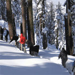 Snowshoers wind through deep snow in the southwest's Red Fir forest.