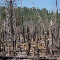 A stand of torched trees after a high intensity fire near Chaos Crags