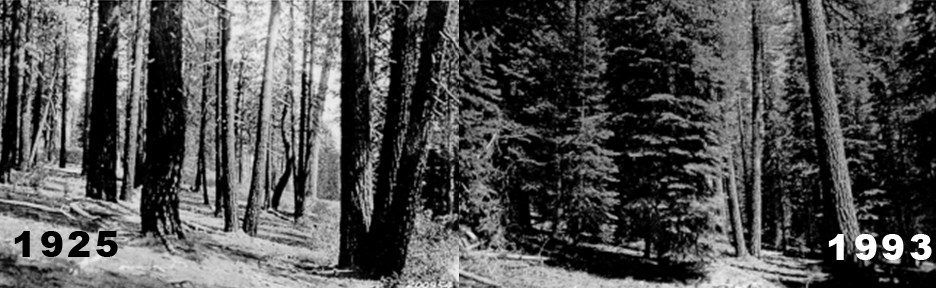 Manzanita Lake area forest comparison (1925 vs. 1993)