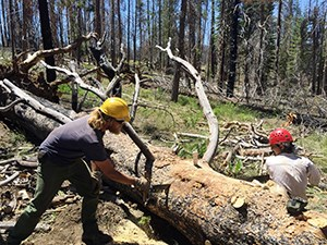 Two men with hard hats use a hand saw to cut a fallen tree