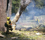 A firefighter fells a snag in a fire area