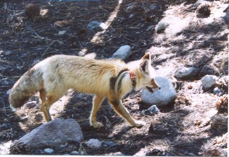Sierra Nevada red fox with monitoring collar