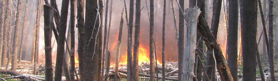 Fire burning in lodgepole pine forest