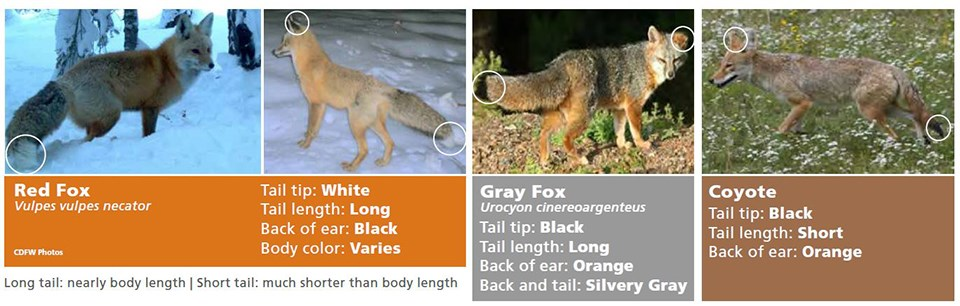 Graphic identifying physical difference between red fox, gray fox, and coyote