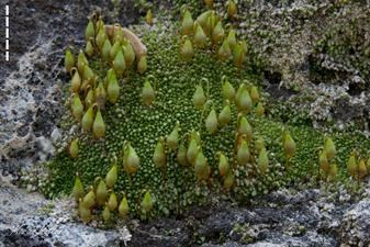 High magnification allows one to observe the Lassen Copper Moss's fruiting bodies.