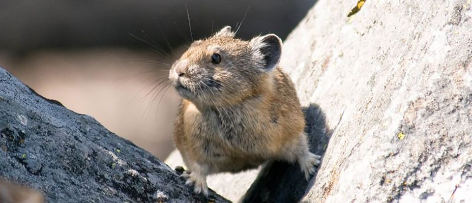 Pika straddles two rocks