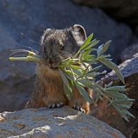 pika with lupine leaves