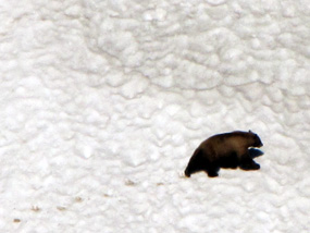 A black bear crosses a snow field in search of food