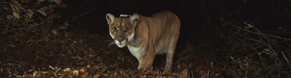 Collared mountain lion