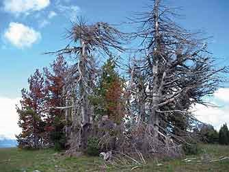 Whitebark Pine trees within Crater Lake National Park infected with blister rust disease.