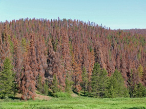 Pines killed by mountain pine beetle in Colorado