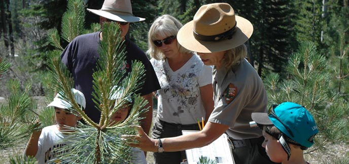 A park ranger and volunteers observe pine tree growth