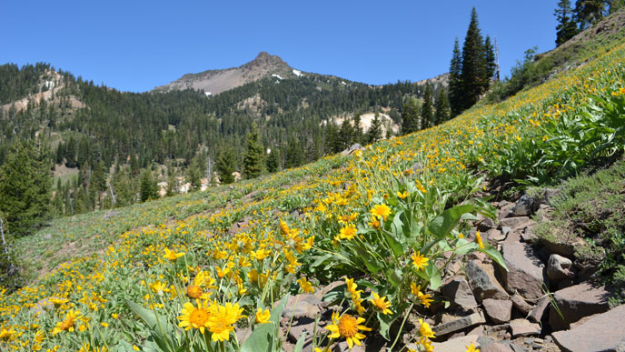 Mules ear bloom below Mt. Diller