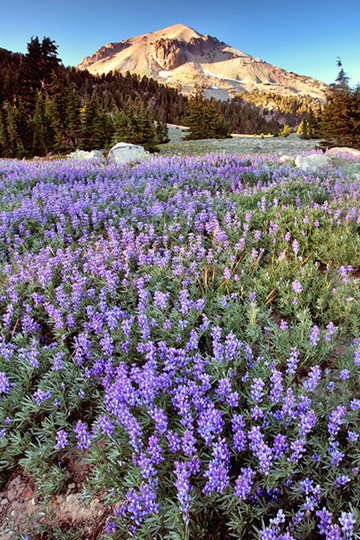 Blue Lupines blanket the ground as Lassen Peak basks in the alpine glow in the background.