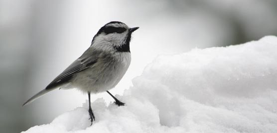 A mountain chickadee perched on snow