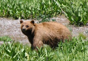 Black bear near Cold Boiling Lake