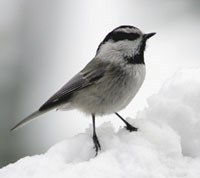 Chickadee perched on snow