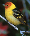 lassen's western tanager