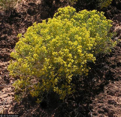 Broom snakeweed, a low shrub with numerous small, yellow flowers.