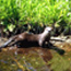 River otters need good water quality to survive