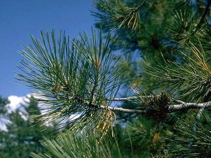 Needles of a ponderosa pine tree.