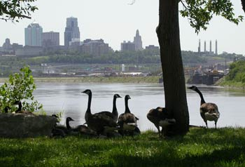 Geese at Kaw Point with city skyline behind.