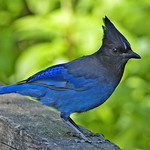 A Stellar's Jay, blue and black feathers with a spike of feathers on top of its head.