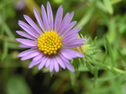Aromatic Aster. A flower with purple petals and a yellow center.