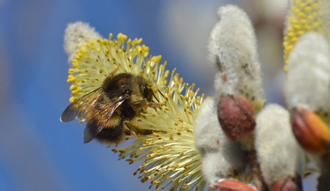 Bumble Bee on a Willow Tree Flower
