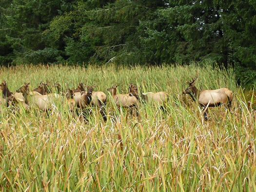 Roosevelt Elk Herd at Fort Clatsop