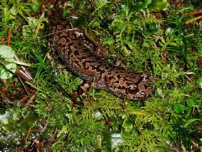 pacific giant salamander range  Pacific Giant Salamander