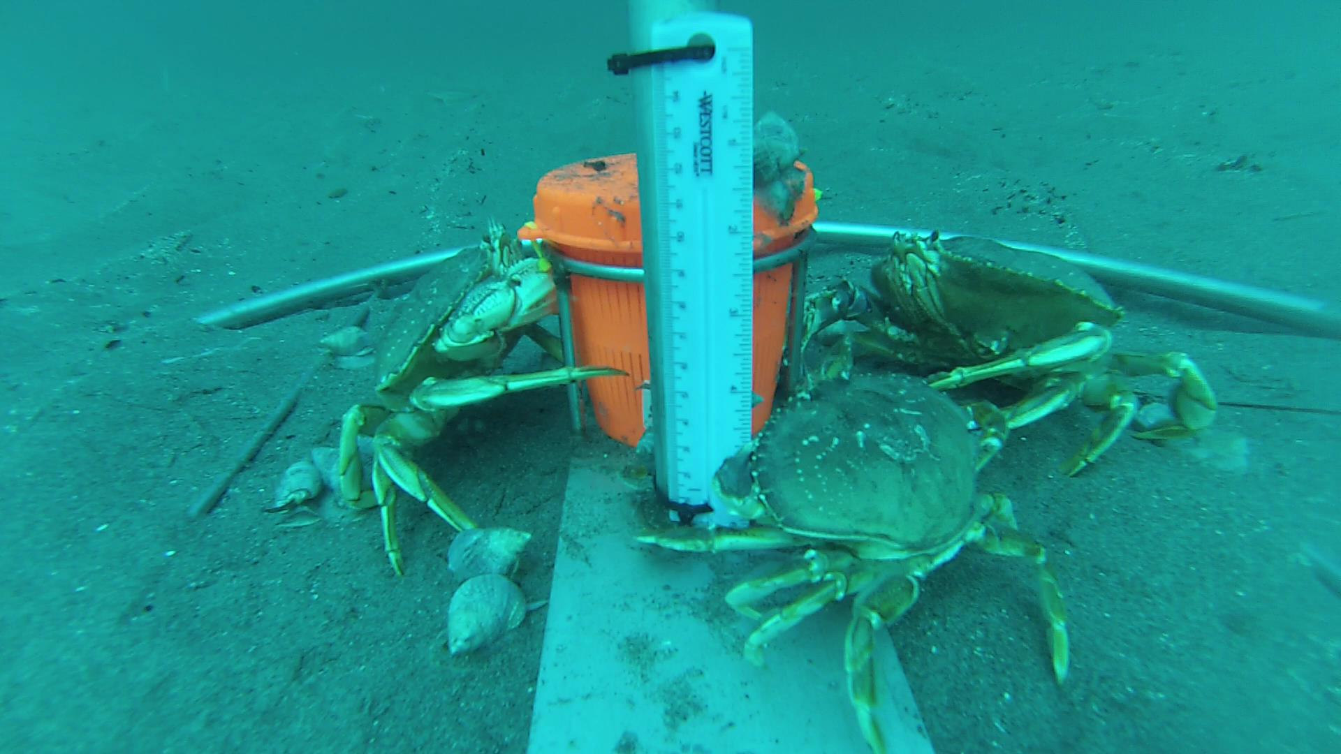 Dungeness crabs surrounding monitoring equipment
