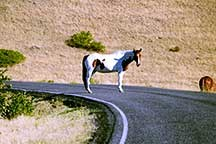 Brown and white spotted horse standing in the middle of the tour road.