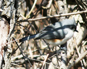 Tufted-Titmouse_285px
