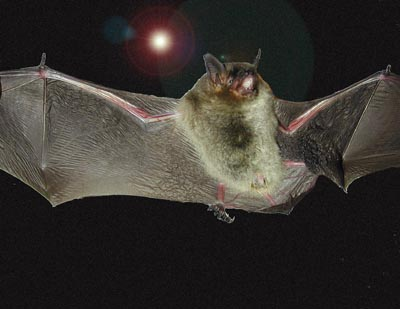 Gray Bat, Endangered Species