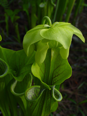 Green Pitcher Plant