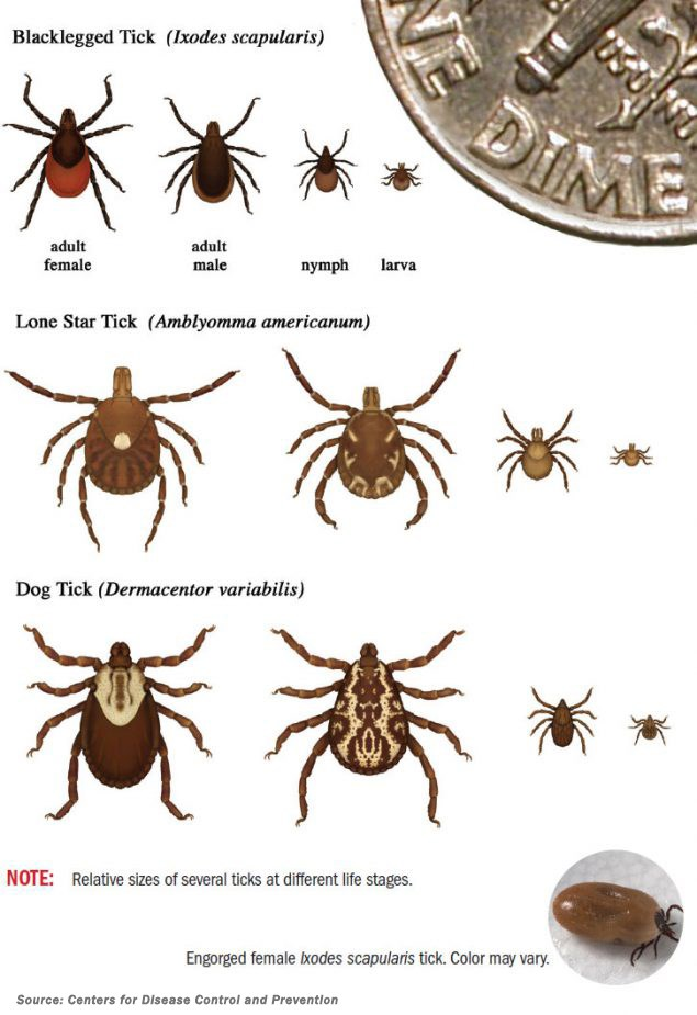 Centers for Disease Control and Prevention graphic on how to identify the three ticks commonly found in Alabama in all stages of their life cycle.