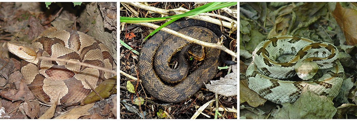 Three individual images of the venomous snakes found at Little River Canyon - the copperhead, the cottonmouth, and the timber rattlesnake