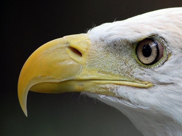 Eagle beak - photo#4