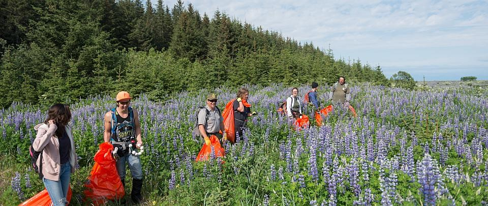 a group of people carry trash bags in a field of lupine