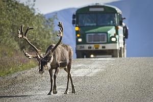 a caribou walks down the road in front of a bus in Denali National Park