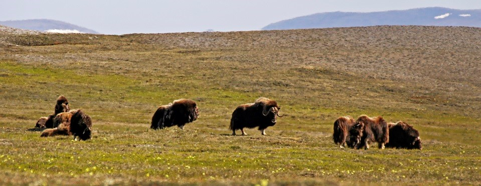 A group of muskoxen on sunny tundra