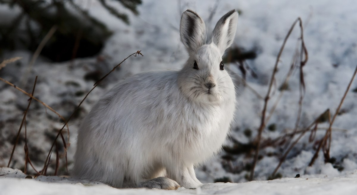 a snowshoe hare sits in the snow