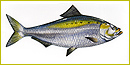 A shiny silvery oval fish tinged with greenish-yellow on top